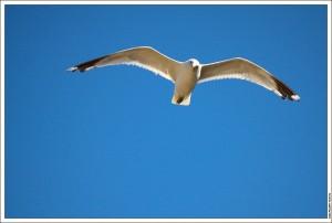Чайка на Валааме